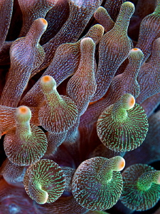 Bulb-tentacle Sea Anemone (Entacmaea quadricolor) by Henry Jager 